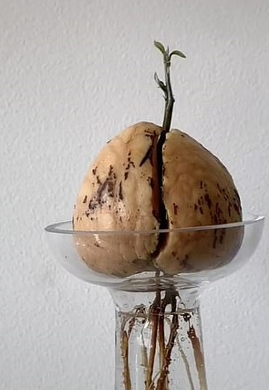 Sprouting advocado seed